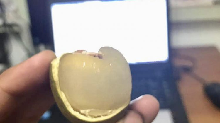 isi buah kristal